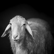 Bio-Lamm / Bio-Schaf