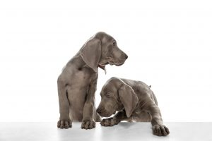 Ernährungsplan Kombipaket für Welpen / Junghunde